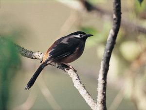 Black_andredbird