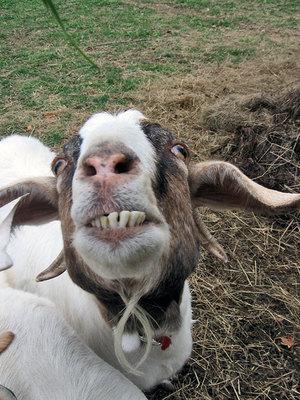 Goaty2